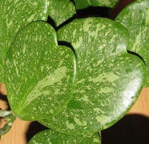Hoya kerrii Spotted Leaves