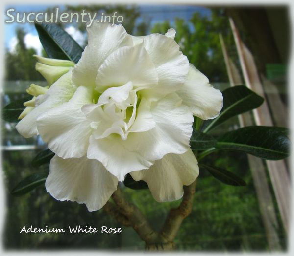 Адениум white rose