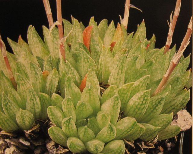 Хавортия reticulata