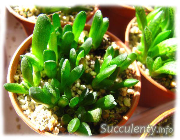 seedling-haworthia-truncata