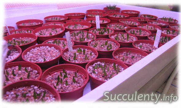 seedling-haworthia