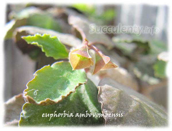 euphorbia-ambovombensis4