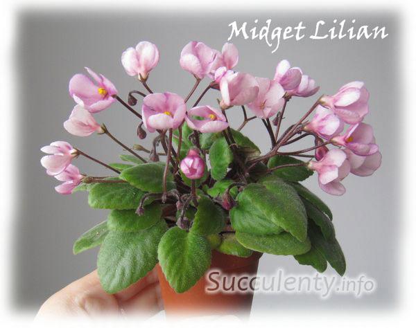 Midget-Lilian