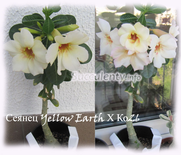 Yellow-Earth-Х-26-3