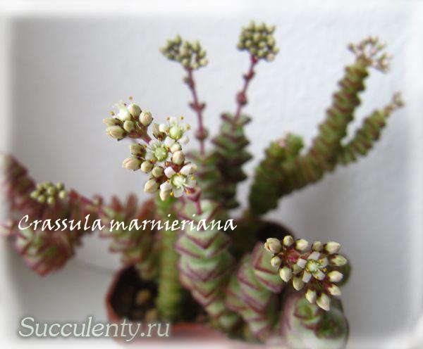 nealeana-bloom3