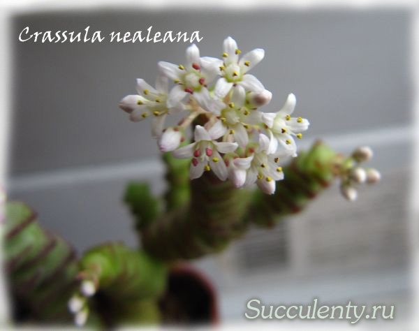 nealeana-bloom4