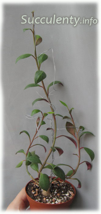 Монадениум рубиновый