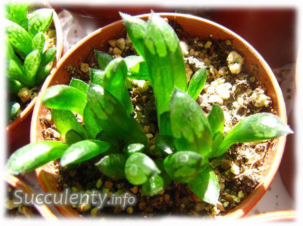 seedling-haworthia-bayeri2