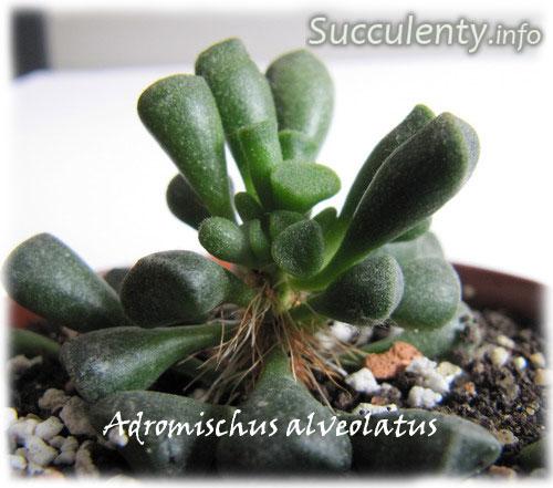 Adromischus-alveolatus2