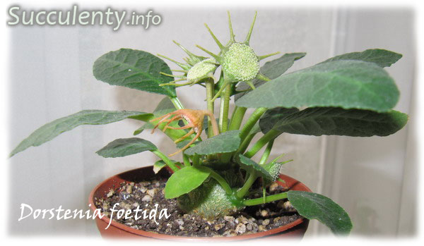 Dorstenia-foetida2