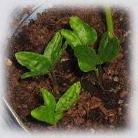 ipomoea-pubescens1