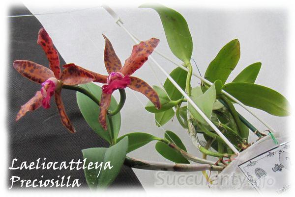 Laeliocattleya-Preciosilla