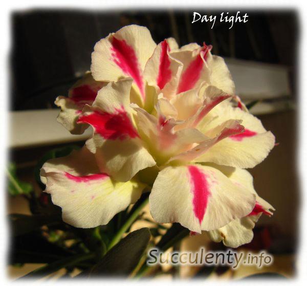 adenium-Day-light-2