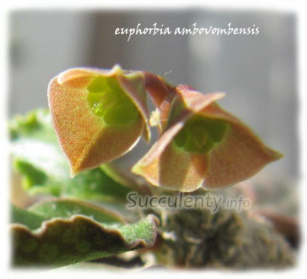 euphorbia-ambovombensis5