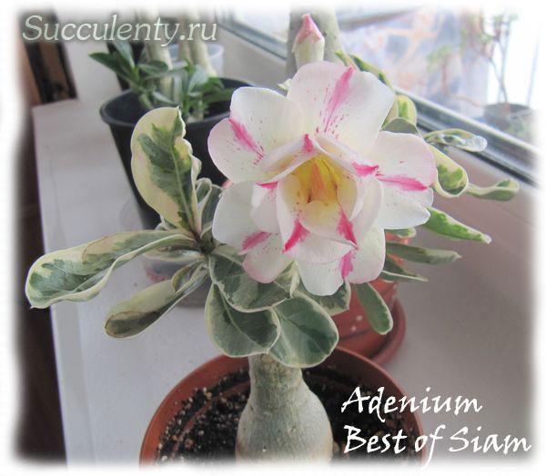 adenium-Best-of-Siam