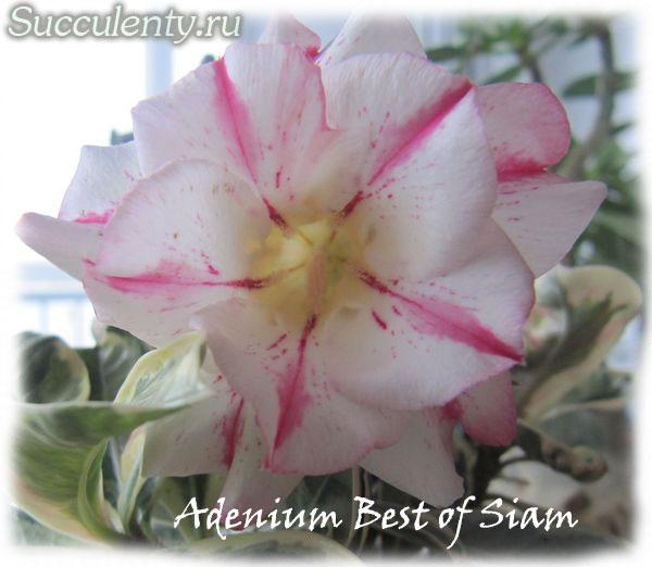 adenium-Best-of-Siam3