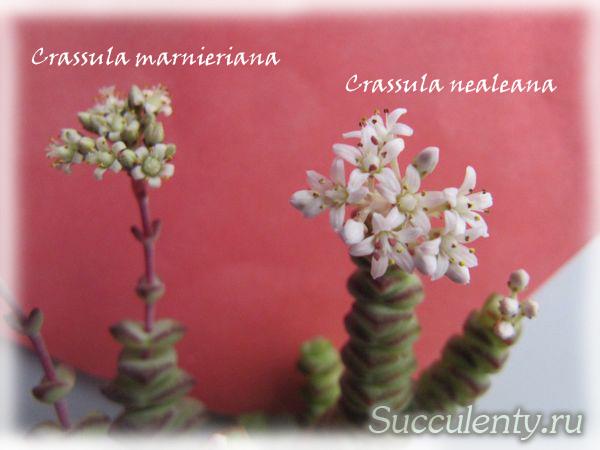 nealeana-bloom2