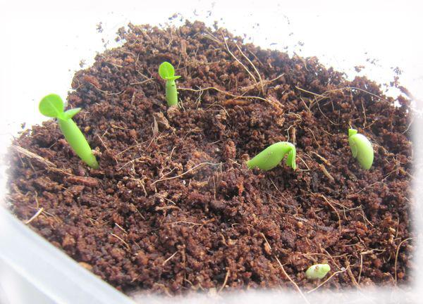 seedlings White Mini