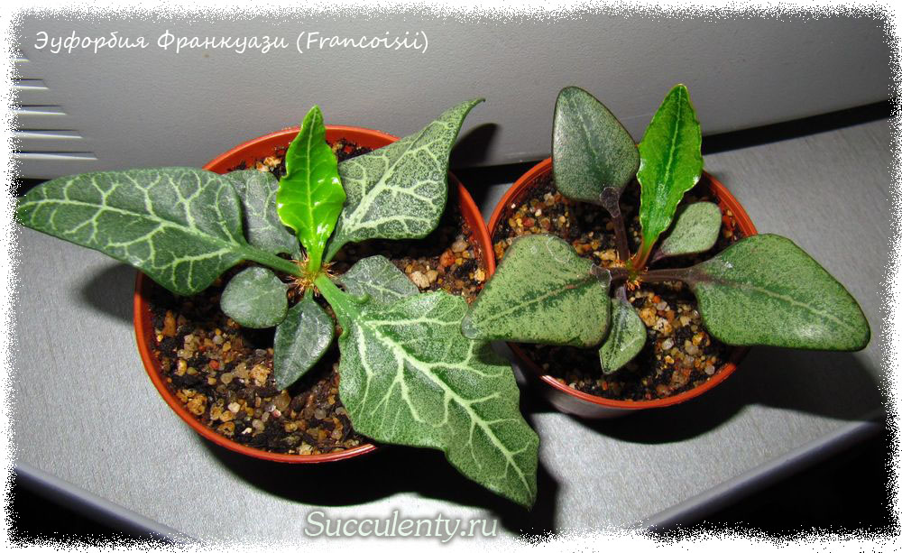Эуфорбия Франкуази (Francoisii)